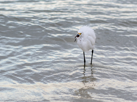 Snowy Egret Catches Small Fish whilte hunting in surf