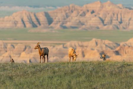 Group of Bighorn Sheep Grazing in Field Below Badlands Banco de Imagens
