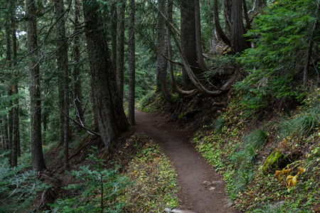 Trail Bends Through Pacific Northwest Forest on sunny day