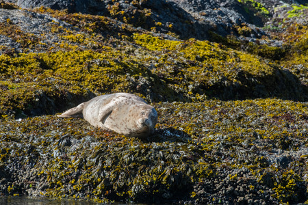 Seal Rests On Kelp Covered Rocks As it Warms in the Sun Banco de Imagens