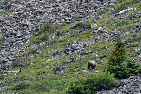 Grizzly Stands On Mountain Slope in Montana wilderness