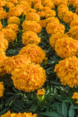 Angle View of Marigold Flowers in Group vertical image