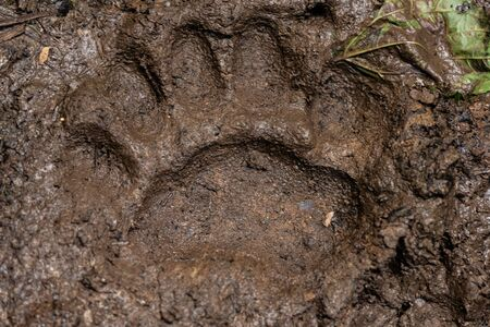 Large Bear Print in Muddy Trail Surface