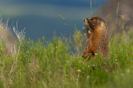 Curious Marmot Stands up in Green Field with Copy Space 版權商用圖片