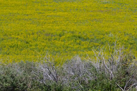 Dead Trees in Foreground of Field of Yellow Wildflowers