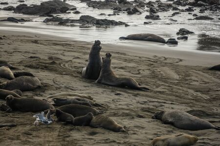 Male Elephant Seals Fight along rocky shore 版權商用圖片