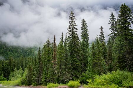 Tall Pines and Fog in Wyoming wilderness in summer