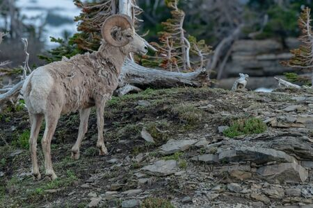 Single Big Horn Sheep On Rocky HIll in Montana mountains