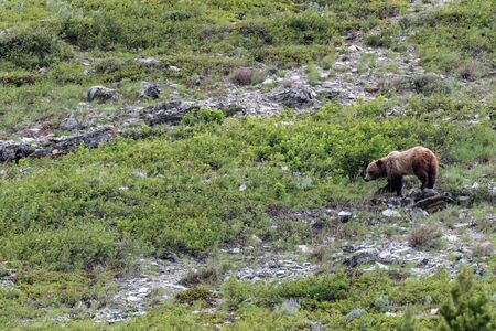 Grizzly Walking Through Brushy Scree Field in Montana wilderness