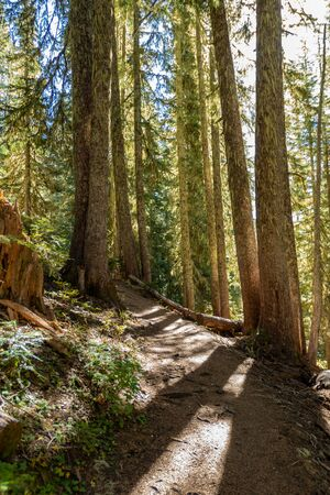 Sun Shines Through Pine forest on trail in Pacific northwest Stok Fotoğraf