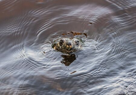 Snapping Turtle Breaks The Surface of dark water in lake