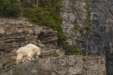 Single Male Mountain Goat Looks Down From Cliff Perch Stok Fotoğraf