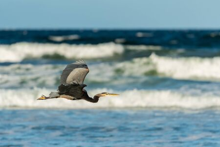 Profile of Heron Flying Over Crashing Waves in pacific Ocean