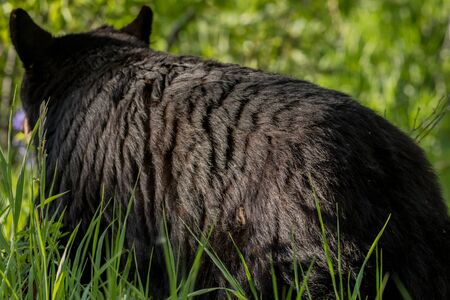 Black Bear Turns Away from Camera in Summer Field