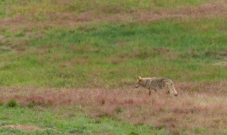 Coyote Strolls Through Prarie Dog Town