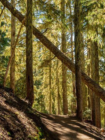 Fall Tree Hangs Over Trail In Mt. Rainier