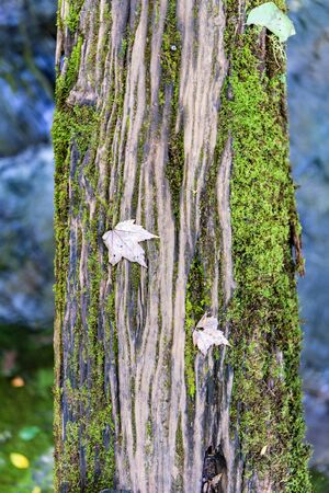 Fallen Leaves on Log Bridge in Great Smoky Mountains 版權商用圖片