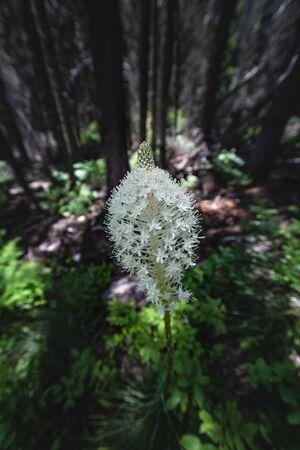 Flowering Bear Grass in Dark Forest in Montana