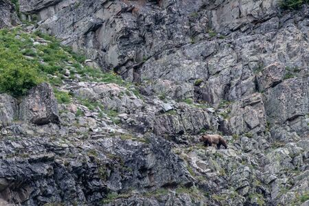 Grizzly Climbing To Higher Ground on rocky cliff