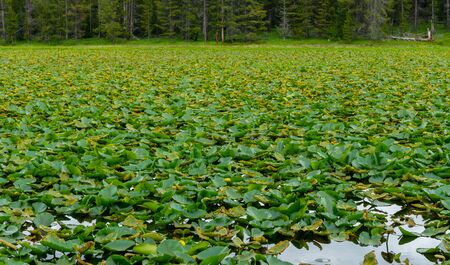 Lily Pads Cover the Surface of Swan Pond in Summer
