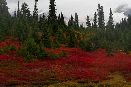 Sea of Red Huckleberry Among Green Pine Trees in Paradise Region
