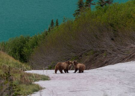Two Grizzly Bears On Snow Field lingering in Montana summer