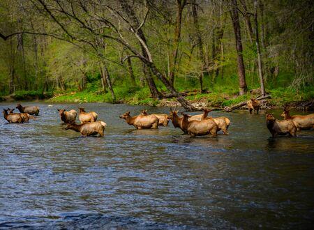 Elk Wade in Oconaluftee River in the Smokies