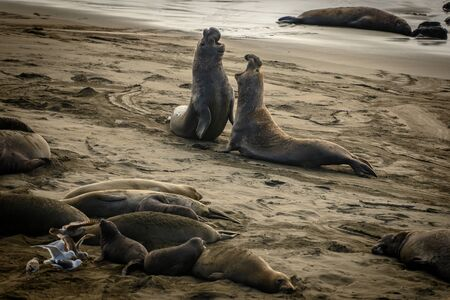 Two Large Male Elephant Seals Battle along Pacific