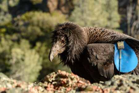 California Condor With Tracking Tag lands on rock