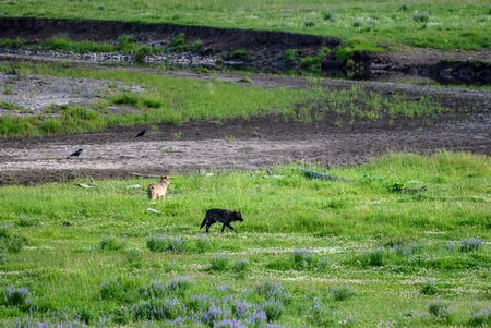 Black Wolf Catches a Scent of another animal 스톡 콘텐츠