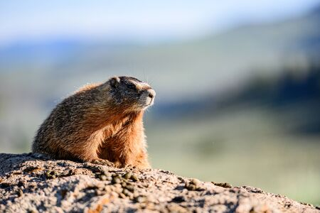 Face and Whiskers of Yellow Bellied Marmot sitting on rock