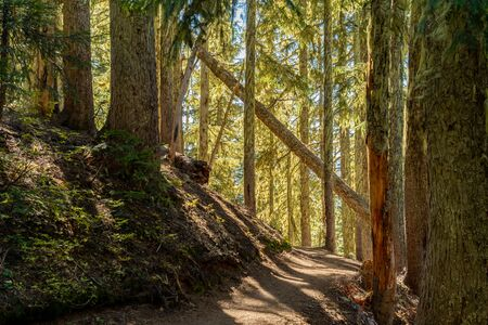 Sunny Afternoon Through Mossy Pine Forest in Washington