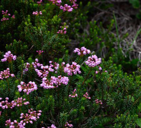 Mountain Heather Blooms on Shrubs in alpine meadow