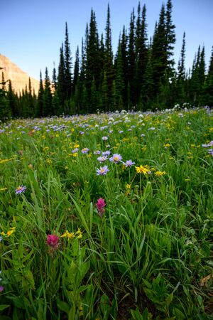 Thick Grasses And Wild Flowers In Meadow in Montana wilderness