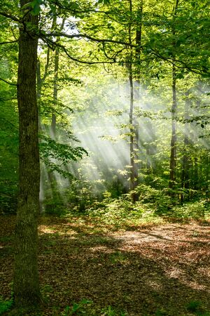 Forest of Sun Rays in Kentucky Morning woods