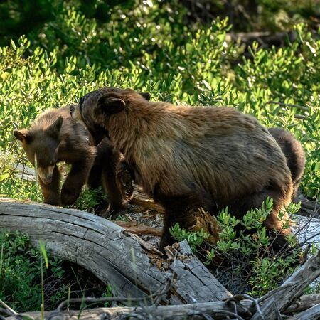 Mother Bear Growls and Swats at Bear Cub who comes in too close