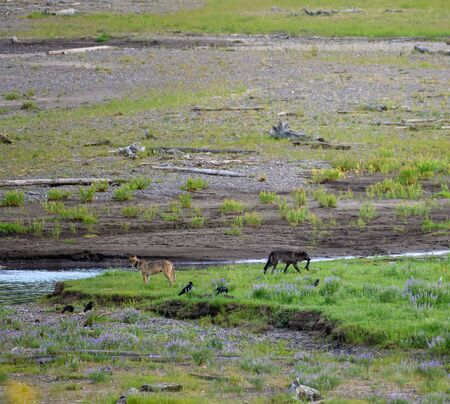 Wolves Scavenge with Ravens in Lamar valley