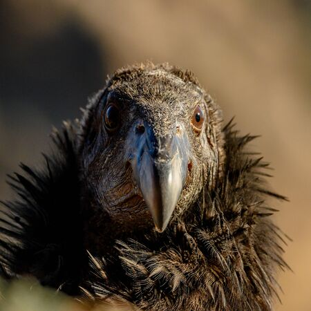 Juvenile California Condor Stares straight at Camera