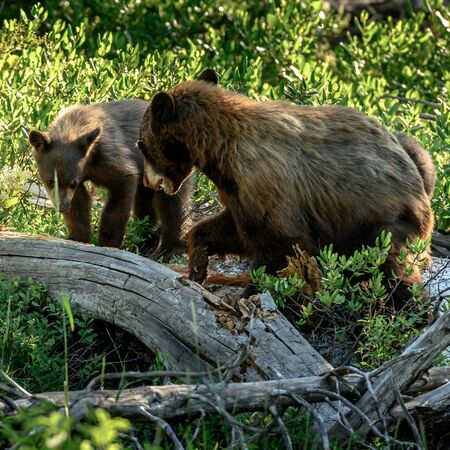 Mother Bear Growls at Bear Cub trying to sneak in on her food source