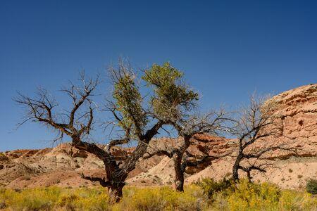 Three Gnarly Trees Amid The Yellow Rabbitbrush on mesa in Zion Stock Photo