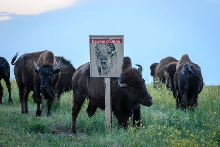 Beware of Bison Sign Shares an Ironic Message as buffalo scratches on it Archivio Fotografico