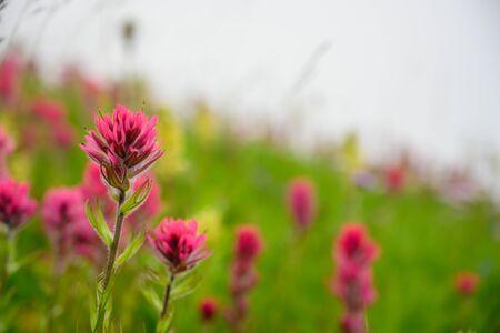 Scarlet Paintbrush Blooms in Foggy Field in alpine meadow 写真素材 - 143434817