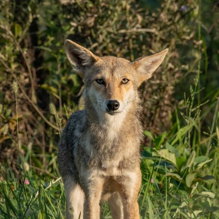 Bored Looking Coyote with cock eyed ears