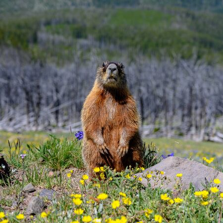Marmot Sits up and looks toward camera