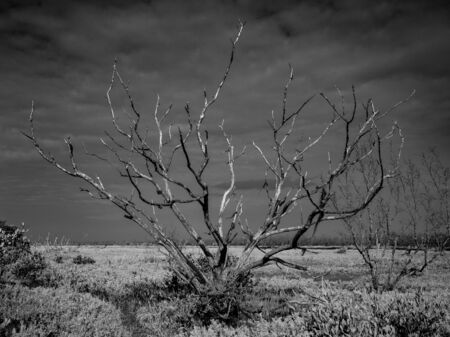 Gnarly Tree in Everglades Coastal Prairie in black and white