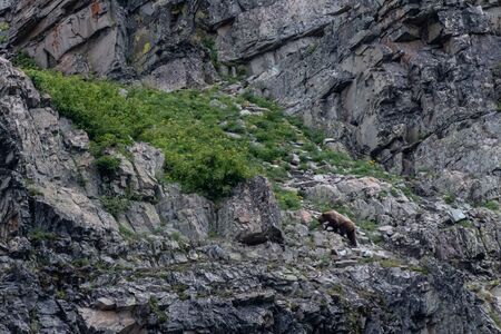 Grizzly Foraging on Rocky Slope in Montana
