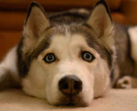 Perplexed Husky Looks at Camera while resting head o floor