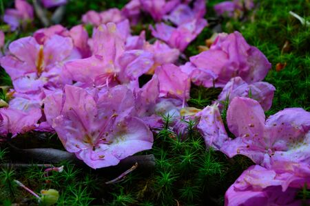 Wilting Rhododendron Petals On Moss
