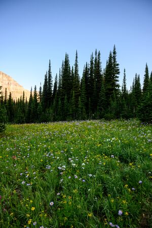 Wild Flowers and Pine Trees in Montana mountains