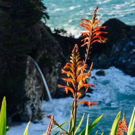 Bright Light on Orange Flowers in Front of McWay Falls along Big Sur